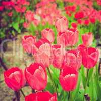 retro look tulips