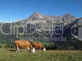 Grazing Simmental Cows and mountains