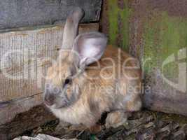 brown small nice rabbit