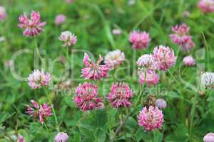 pink flowers of clover