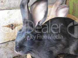 black and brown big nice rabbits