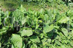 plant of ribwort
