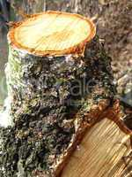 cut trunk of birch