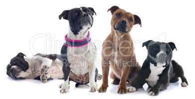 deux staffordshire bull terrier