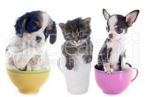 kitten and puppies in teacup