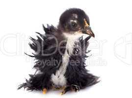 curly feathered chick pekin