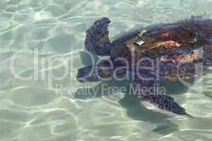 wasserschildkröte beim schwimmen im klaren meerwasser mit sender auf dem rücken