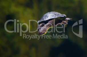 Schildkröte Unterwasser streckt den Kopf aus dem Panzer