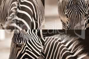 zebra collage in sepia