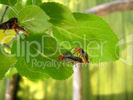 motley bugs on the leaf making love