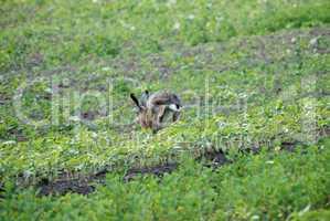 Flüchtender Hase