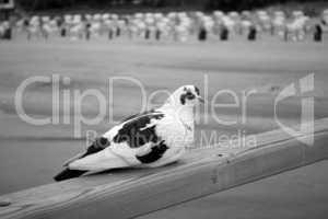 Weiße Taube auf Seebrücke