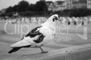 Weiß schwarze Taube vor Ostseeküste
