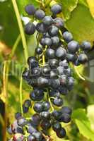 cluster of dark grapes