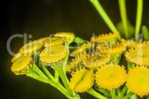 Rainfarn, Chrysanthemum vulgare, natürliches Insektizid