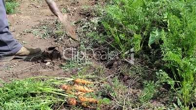 Man Picking carrots