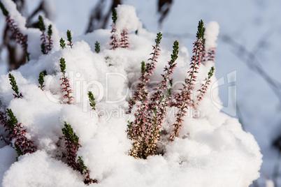 heidekraut mit schnee, erica with snow
