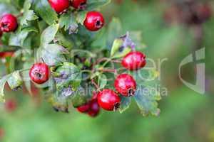 weißdorn, früchte der heilpflanze