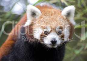 rouge panda