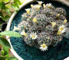 Cactus with yellow flowers