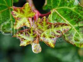 Efeu-Blätter