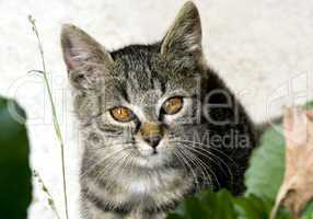 Close up portrait of domestic cat with brown eyes