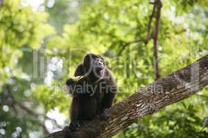 ateles geoffroyi vellerosus spider monkey in panama eating banan