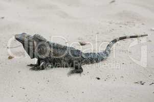 black iguana, ctenosaura similis in the sand