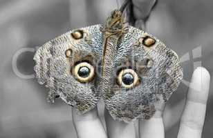 macro shot of owl butterfly (caligo)