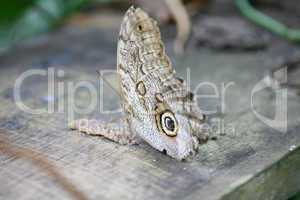 owl butterfly caligo ready to eat
