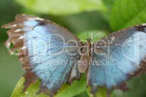 macro shot of  blue morpho butterfly perched on a leaf.  focus o