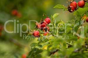 Hagebutten leuchten rot und verkünden den Herbst