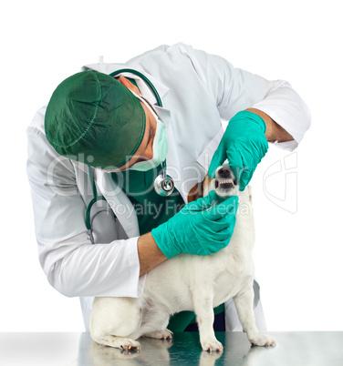 Veterinarian examines the dog's teeth