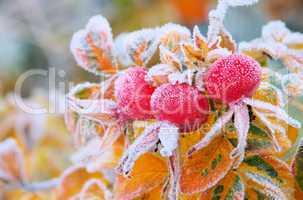 hagebutte im winter - hip in winter 05