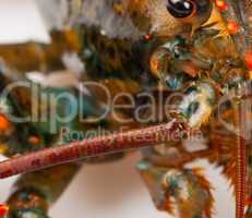 Macro of living lobster