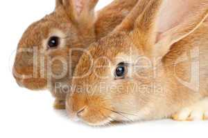 Tow cute rabbits sitting