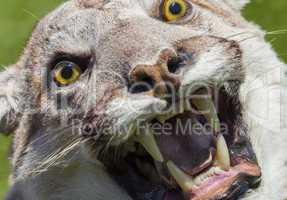 Cougar, North American Mountain Lion, Puma Concolor