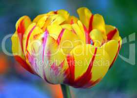 Yellow and red tulip in bloom