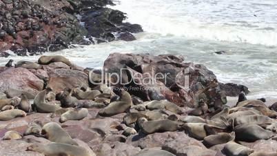 colony of seals at cape cros