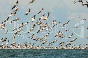 flock of pink pelicans