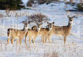white tail deer family