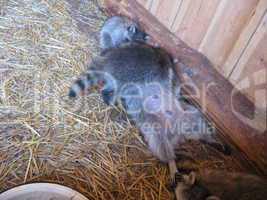 brood of grey raccoons