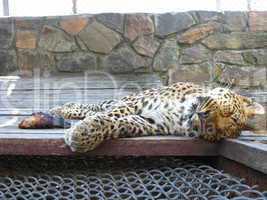 sleeping leopard and piece of meat near it
