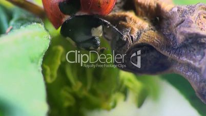 käfer marienkäfer makro insekt