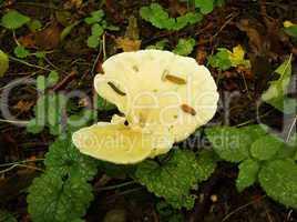 slugs on mushroom