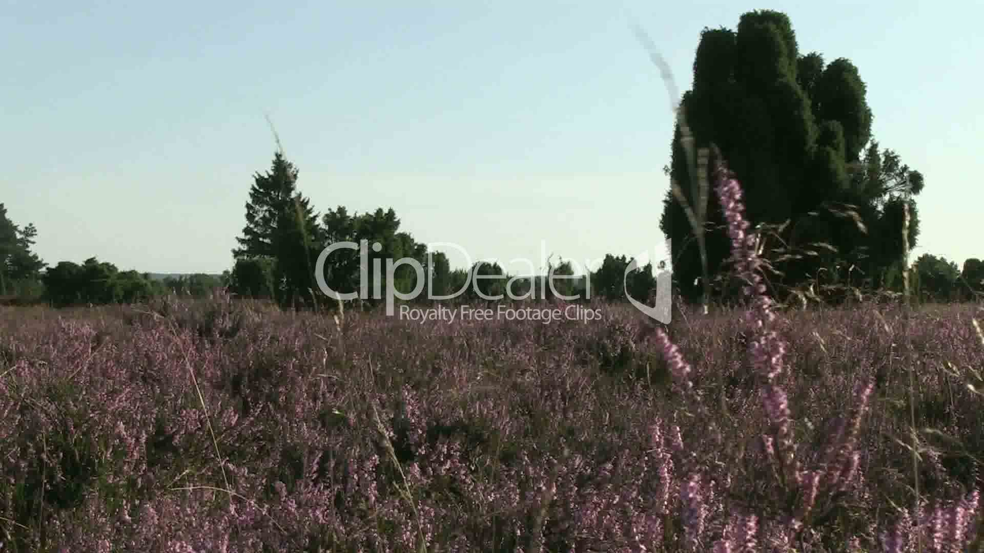 heidepflanzen in der l neburger heide royalty free video and stock footage. Black Bedroom Furniture Sets. Home Design Ideas