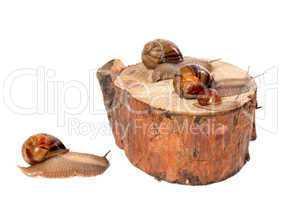 family of snails on pine-tree stump