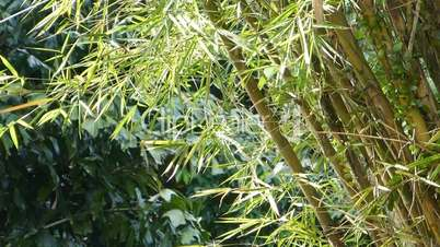 a well grown cluster of bamboo plants (bamboo--1b)