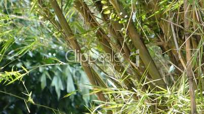a well grown cluster of bamboo plants (bamboo--2a)
