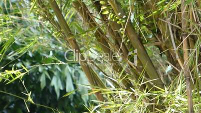 A well grown cluster of bamboo plants (BAMBOO--2B)